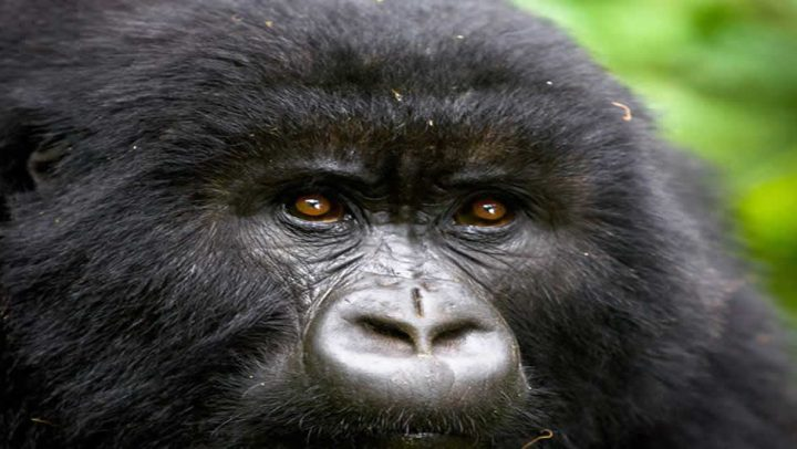 Close Encounter With Mountain Gorillas Of Africa