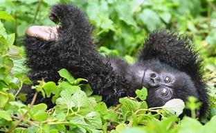 Virunga Gorilla Safari Experience