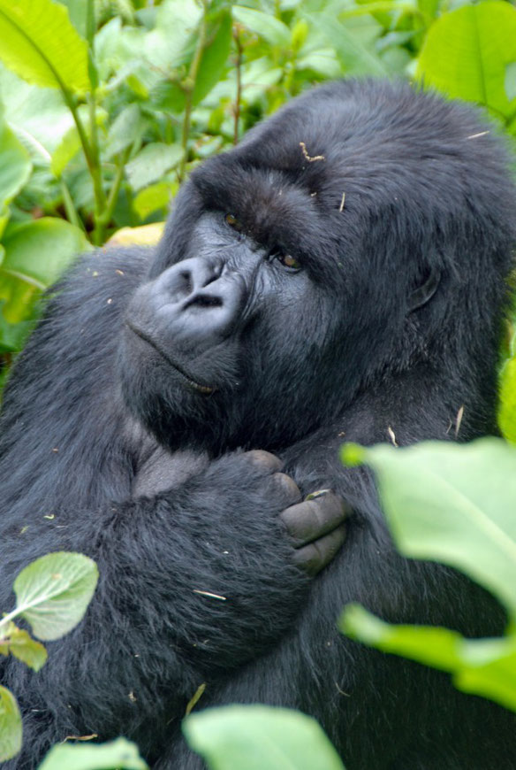 Visit the Gorillas in Congo