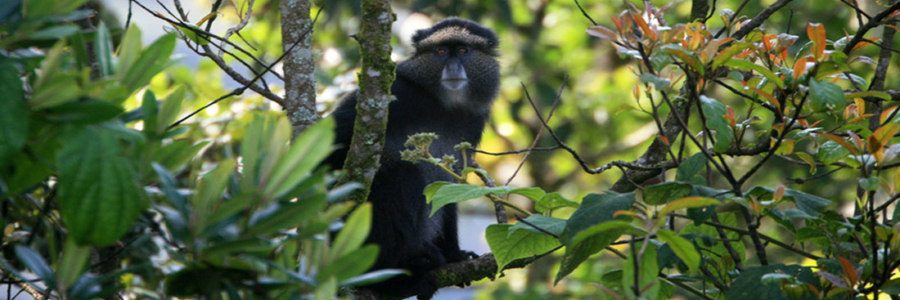 Primates in Virunga
